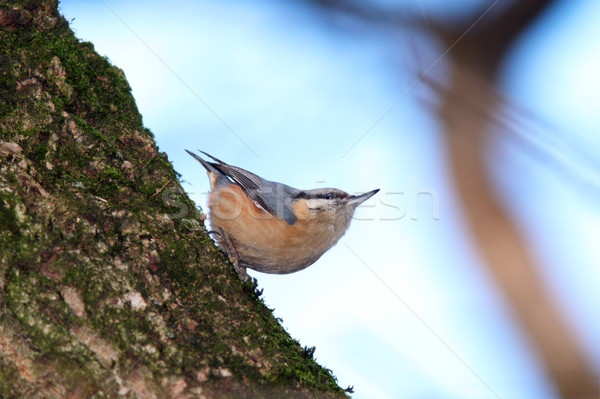 sitta europaea on tree trunk Stock photo © taviphoto