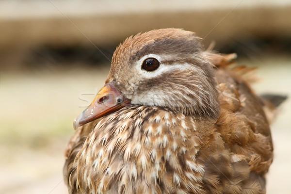 female mandarin duck Stock photo © taviphoto