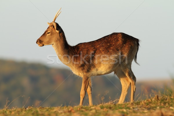 young fallow deer stag in a glade Stock photo © taviphoto