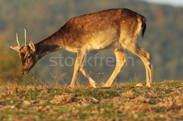 young fallow deer buck in beautiful light Stock photo © taviphoto