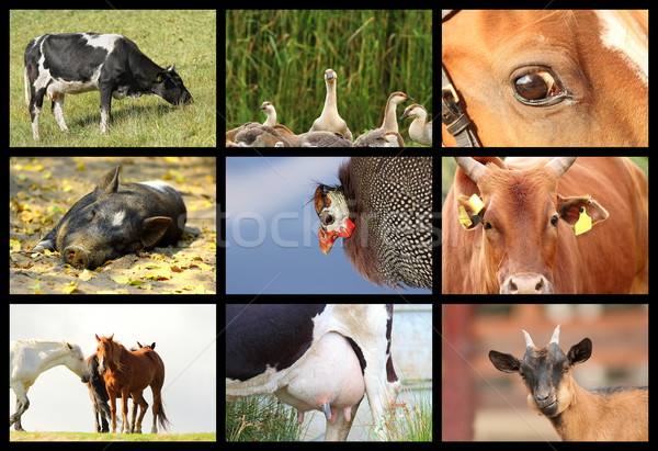 details with farm animals Stock photo © taviphoto