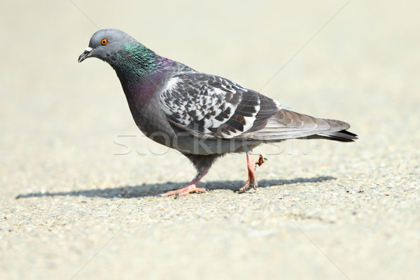 feral pigeon on park alley Stock photo © taviphoto