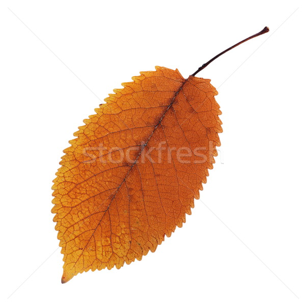 orange faded cherry leaf over white Stock photo © taviphoto