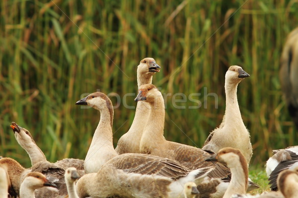 flock of brownish geese Stock photo © taviphoto