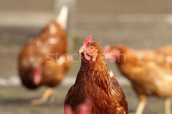 Stock fotó: Tyúk · néz · kamera · farm · szabad · bio