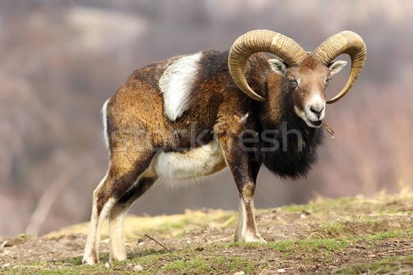 mouflon eating piece of tree bark Stock photo © taviphoto