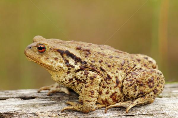 プロファイル 表示 ブラウン ヒキガエル 眼 自然 ストックフォト © taviphoto