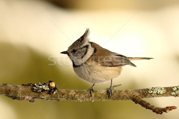 crested tit perched on small twig Stock photo © taviphoto