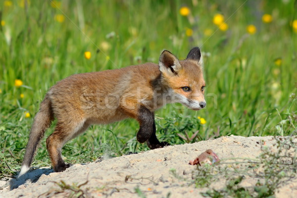 young eurasian red fox Stock photo © taviphoto