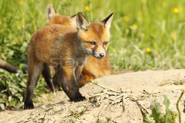 cute red fox puppy near the burrow Stock photo © taviphoto