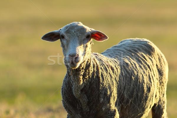 Curioso blanco ovejas mirando cámara cara Foto stock © taviphoto