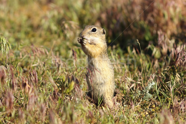 european ground squirrel on meadow Stock photo © taviphoto