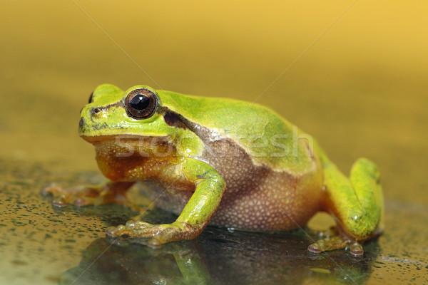 Stock fotó: Teljes · alakos · levelibéka · zöld · fa · béka · sétál · nedves