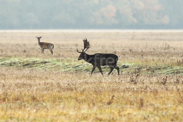 Homme cerfs aube marche prairie orange Photo stock © taviphoto
