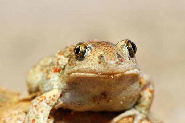 portrait of cute garlic toad Stock photo © taviphoto