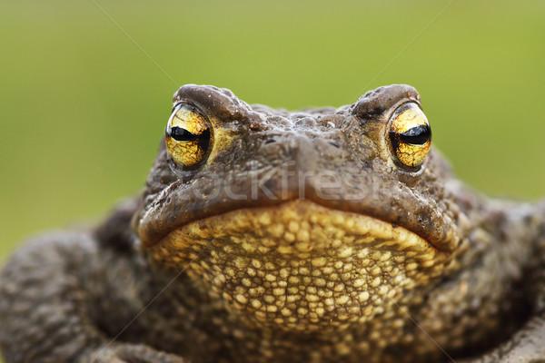 ブラウン ヒキガエル 頭 フロント 表示 背景 ストックフォト © taviphoto