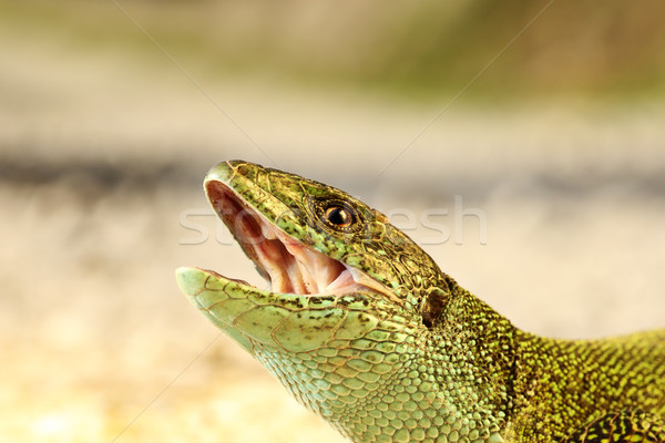 angry male green lizard portrait Stock photo © taviphoto
