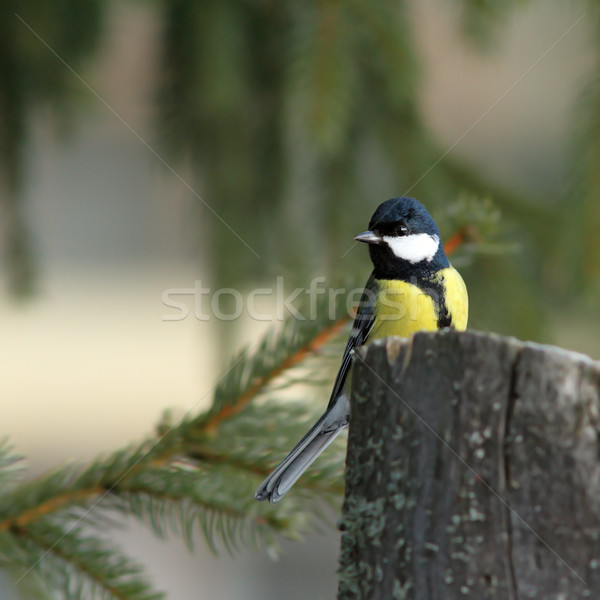 great tit in spruce forest Stock photo © taviphoto