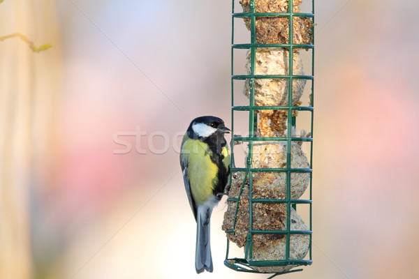 great tit hanging on fat feeder Stock photo © taviphoto