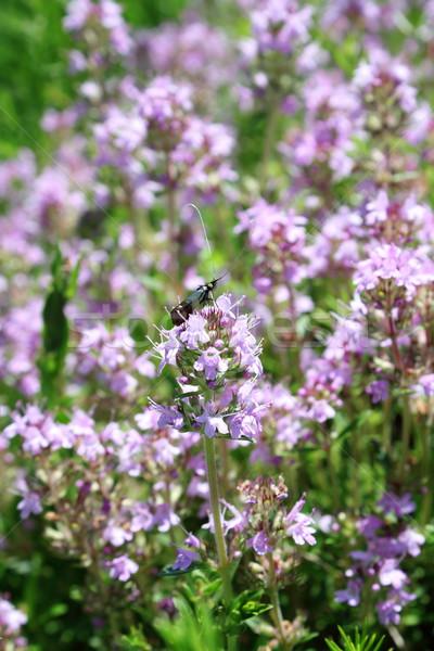 Böcek kır çiçeği küçük ayakta mor bahçe Stok fotoğraf © taviphoto