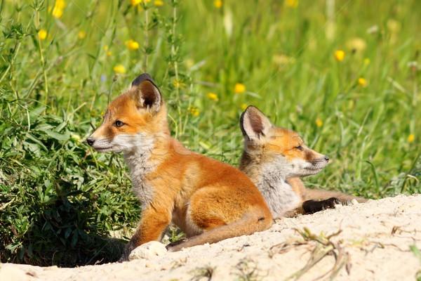 Aranyos piros róka kettő család tavasz Stock fotó © taviphoto