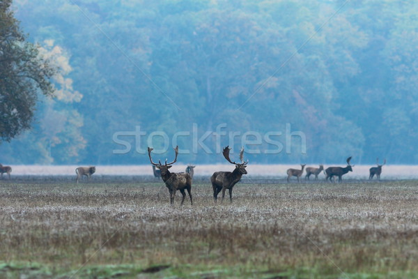 fallow deer stags at dawn Stock photo © taviphoto