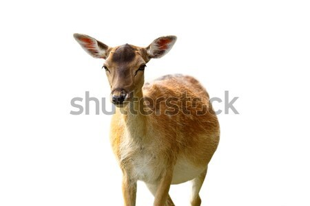 isolated fallow deer hind Stock photo © taviphoto