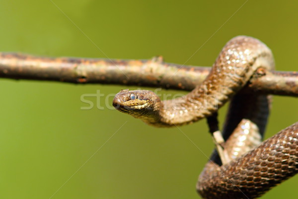 close up of smooth snake on branch Stock photo © taviphoto