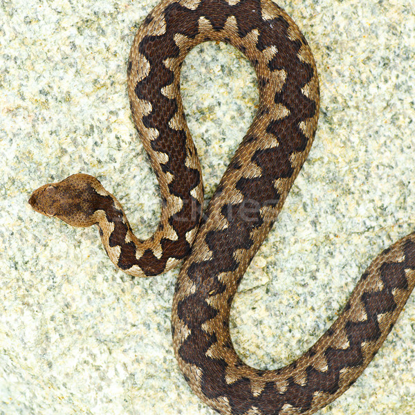 beautiful pattern on vipera ammodytes back Stock photo © taviphoto