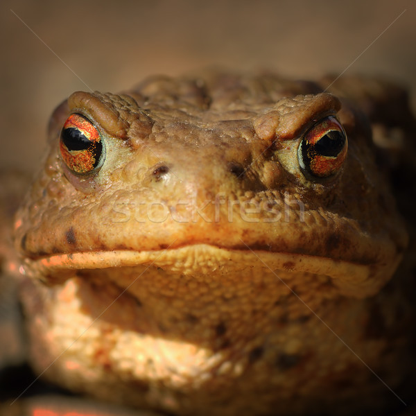 abstract portrait of common brown frog Stock photo © taviphoto