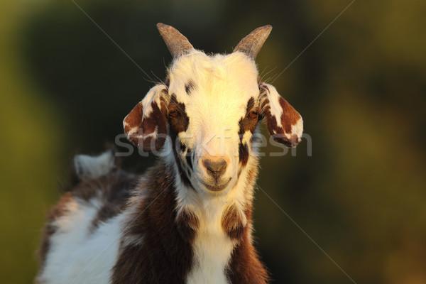 Cute geit kid nieuwsgierig jonge Stockfoto © taviphoto