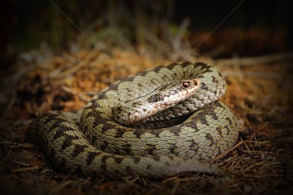 Europejski węża lasu ziemi stałego charakter Zdjęcia stock © taviphoto