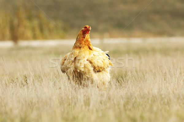 Groß inländischen Henne Bereich Bauernhof Natur Stock foto © taviphoto