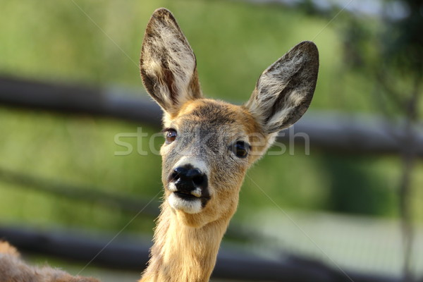 portrait of a roe deer Stock photo © taviphoto