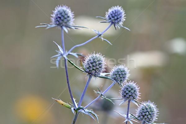Stock photo: flowering thistles