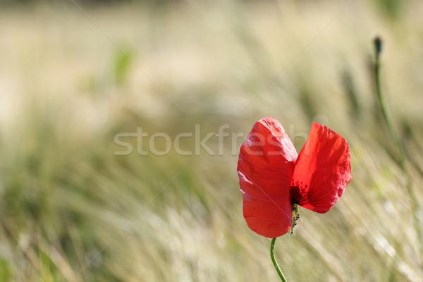 Kırmızı kır çiçeği alan büyüyen bahar bahçe Stok fotoğraf © taviphoto