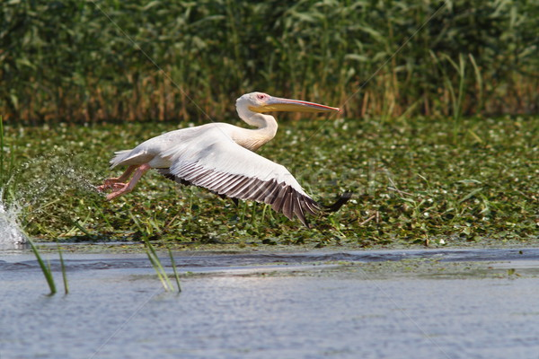 great pelican in flight at Musura bay Stock photo © taviphoto