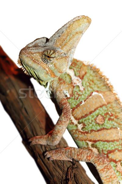 Foto stock: Isolado · camaleão · branco · olho · olhos · fundo