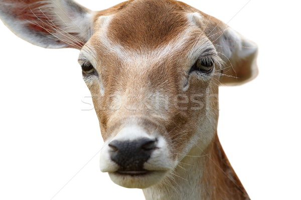 isolated deer hind getting rid of fleas Stock photo © taviphoto