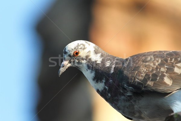 close up of domestic pigeon Stock photo © taviphoto