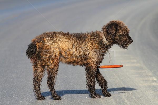 Rumeno tradizionale pecore cane buio piedi Foto d'archivio © taviphoto