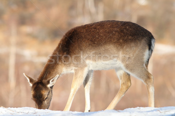 Szarvas étel hó őzgida fa tél Stock fotó © taviphoto