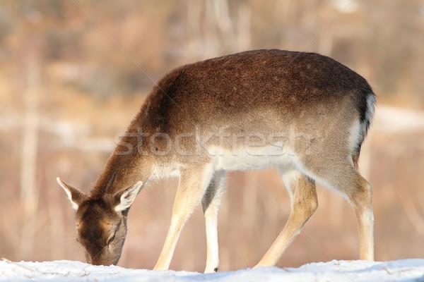 Herten voedsel sneeuw reekalf boom winter Stockfoto © taviphoto