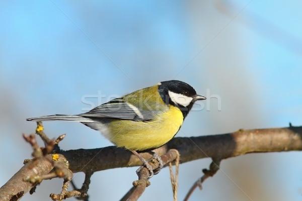 Muhteşem baştankara şube yandan görünüş bahçe kuş Stok fotoğraf © taviphoto