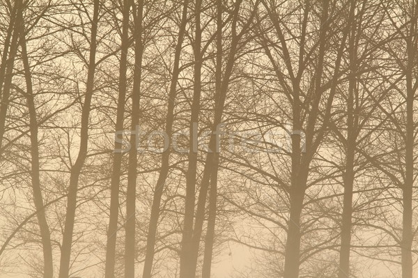 interesting foggy forest Stock photo © taviphoto