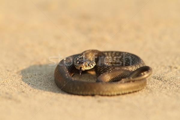 Juvenilis fű kígyó homokos tengerpart nyár állat Stock fotó © taviphoto