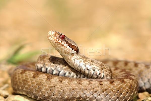 Közelkép európai természet állat mérleg nyelv Stock fotó © taviphoto