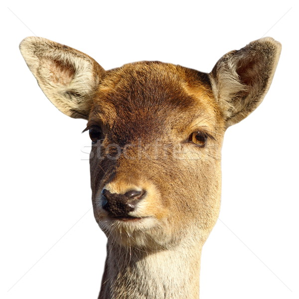 Stock photo: fallow deer hind portrait over white