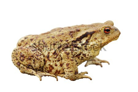 isolated common toad Stock photo © taviphoto