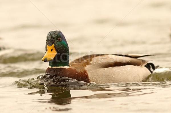 Eend vijver mannelijke dag water Stockfoto © taviphoto